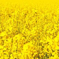 Repka olejná pestovanie a skladovanie